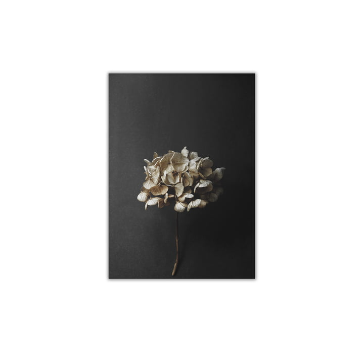Still Life 04 (Hydrangea), 30 x 40 cm by Paper Collective