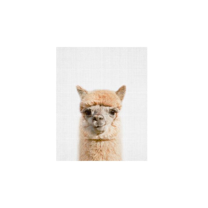 Alpaca 80 x 100 cm from IXXI